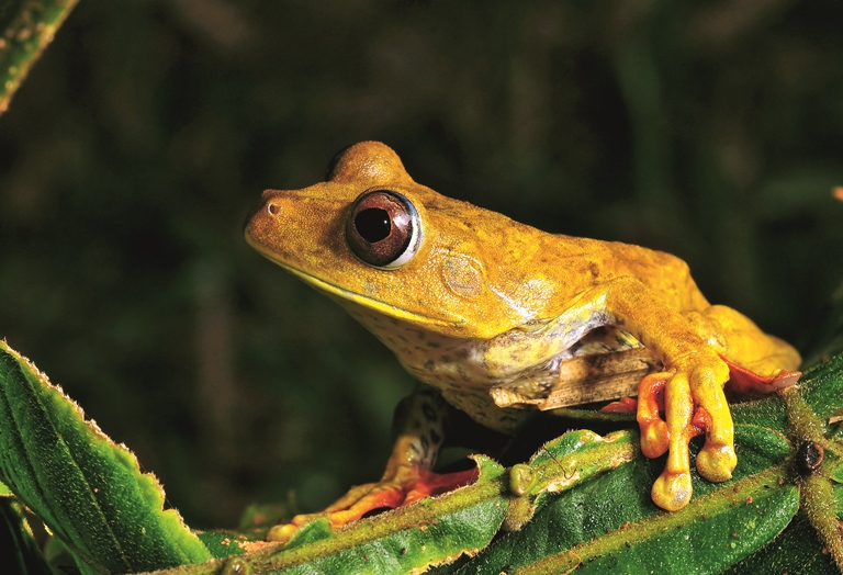 Rana geográfica, Hypsiboas geographicus. Foto Michell León, APECO/WWF