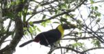 yellow-throated-toucan-ramphastos-ambiguus-foto-elio-nunez-2